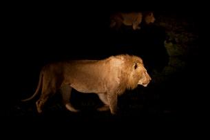 闇夜を歩くライオンの写真素材 [FYI03872107]