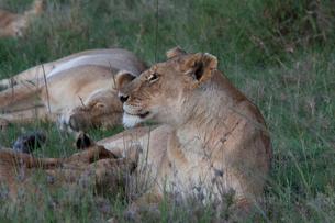 雌ライオンと子供の写真素材 [FYI03872110]