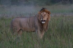 佇む雄ライオンの写真素材 [FYI03872112]