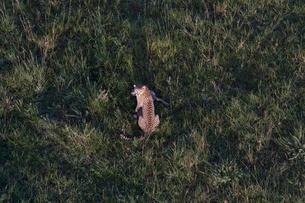 気球からチーターの狩を望むの写真素材 [FYI03872114]