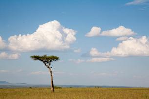木と大きな白い雲の写真素材 [FYI03872123]