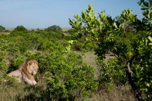 茂みに身を潜める雄ライオンの写真素材 [FYI03872130]