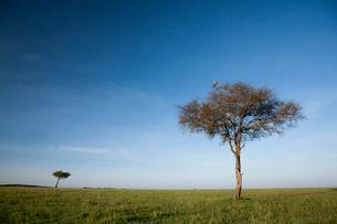 青い空とサバンナに育つ木の写真素材 [FYI03872131]