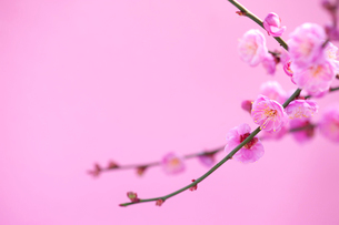 梅の写真素材 [FYI03875655]