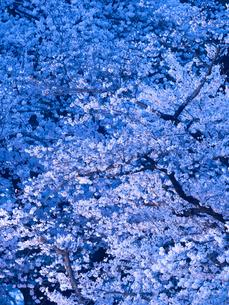上野公園の夜桜の写真素材 [FYI03876540]