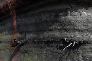 最終氷期埋没林 出来島海岸の泥炭層の写真素材 [FYI03877108]