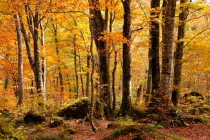 10月秋,世界遺産白神山地のブナ林の紅葉の写真素材 [FYI03877271]