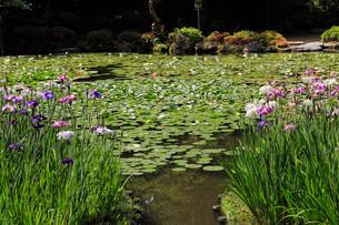 5月 平安神宮神苑の花菖蒲の写真素材 [FYI03877299]