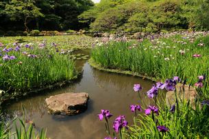 5月 平安神宮神苑の花菖蒲の写真素材 [FYI03877301]
