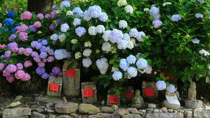 6月 アジサイの矢田寺の写真素材 [FYI03877303]