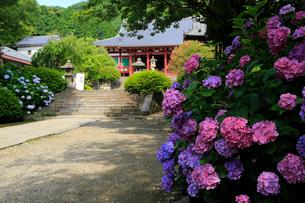 6月 アジサイの矢田寺の写真素材 [FYI03877306]