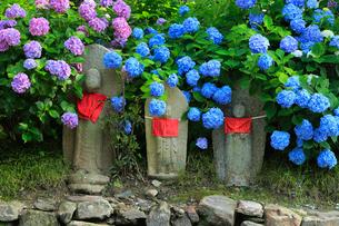 6月 アジサイの矢田寺の写真素材 [FYI03877307]