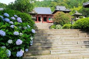 6月 アジサイの矢田寺の写真素材 [FYI03877308]