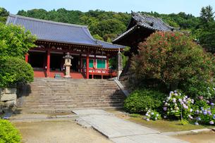 6月 アジサイの矢田寺の写真素材 [FYI03877314]