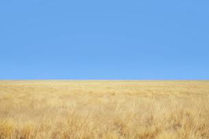 黄金色の草原の写真素材 [FYI03877396]