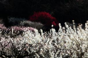 いなべ市農業公園 花咲く梅林公園の写真素材 [FYI03877474]