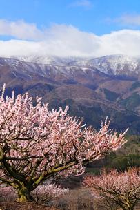 いなべ市農業公園 花咲く梅林公園と残雪の鈴鹿山脈の写真素材 [FYI03877475]