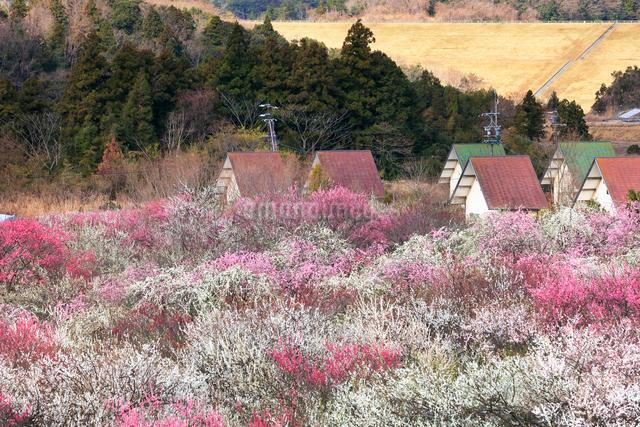 いなべ市農業公園 花咲く梅林公園とクラインガルデンの写真素材 [FYI03877477]