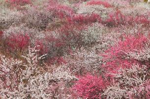 いなべ市農業公園 花咲く梅林公園の写真素材 [FYI03877478]
