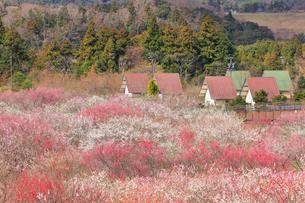いなべ市農業公園 花咲く梅林公園とクラインガルデンの写真素材 [FYI03877480]