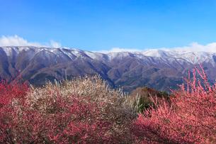 いなべ市農業公園 花咲く梅林公園と残雪の鈴鹿山脈の写真素材 [FYI03877488]