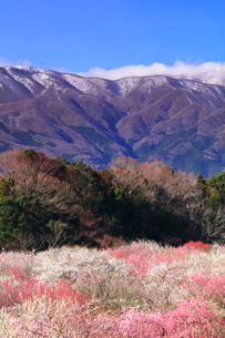 いなべ市農業公園 花咲く梅林公園と残雪の鈴鹿山脈の写真素材 [FYI03877489]