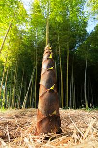 竹林とタケノコの写真素材 [FYI03877490]