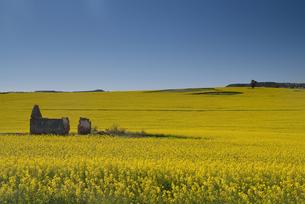 西オーストラリア州の菜の花畑の写真素材 [FYI03877664]