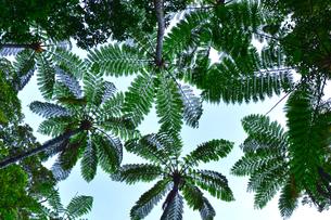 金作原原生林のヒカゲヘゴの写真素材 [FYI03877774]