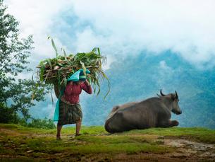 ネパール ヒマラヤ山麓の荷物を運ぶ老婆と牛の写真素材 [FYI03877911]