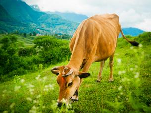 ネパール ティカをつけた牛の写真素材 [FYI03877912]