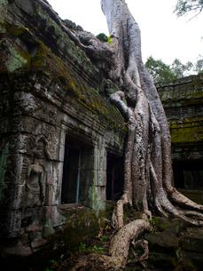 カンボジア シェムリアップ タ・プロームの写真素材 [FYI03878182]