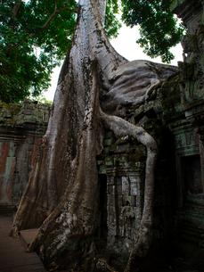 カンボジア シェムリアップ タ・プロームの写真素材 [FYI03878195]