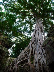 カンボジア シェムリアップ タ・プロームの写真素材 [FYI03878202]