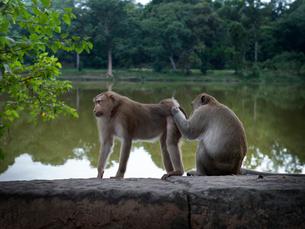 カンボジア シェムリアップ 水辺の猿の写真素材 [FYI03878205]
