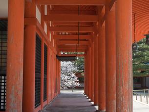 京都 平安神宮の桜の写真素材 [FYI03878217]