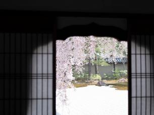 京都 高台寺の桜 波心庭の写真素材 [FYI03878218]