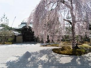 京都 高台寺の桜 波心庭の写真素材 [FYI03878220]