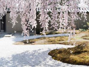 京都 高台寺の桜 波心庭の写真素材 [FYI03878221]