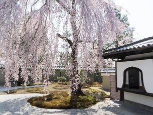 京都 高台寺の桜 波心庭の写真素材 [FYI03878222]
