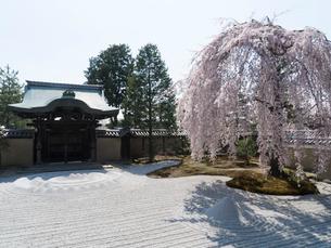 京都 高台寺の桜 波心庭の写真素材 [FYI03878223]