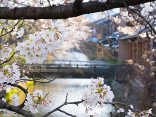 京都 祇園白川の桜の写真素材 [FYI03878226]