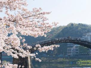 山口 錦帯橋の桜の写真素材 [FYI03878228]