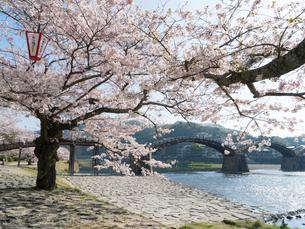 山口 錦帯橋の桜の写真素材 [FYI03878234]