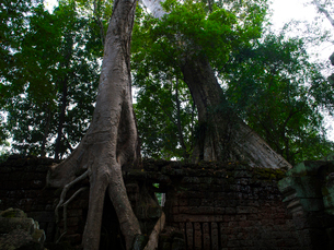 カンボジア シェムリアップ タ・プロームの写真素材 [FYI03878244]