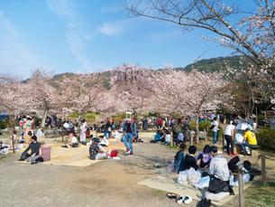 京都 円山公園の桜の写真素材 [FYI03878261]
