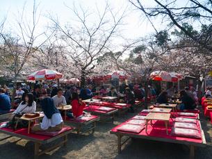 京都 円山公園の桜の写真素材 [FYI03878264]