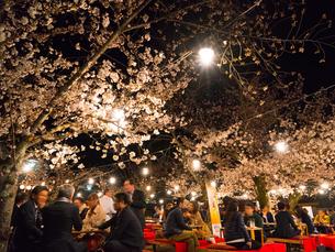 京都 円山公園の桜の写真素材 [FYI03878268]