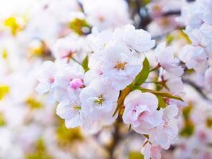 京都 仁和寺の桜の写真素材 [FYI03878270]