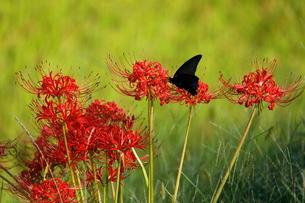 西予市城川町の秋の棚田の彼岸花と蝶の写真素材 [FYI03878350]